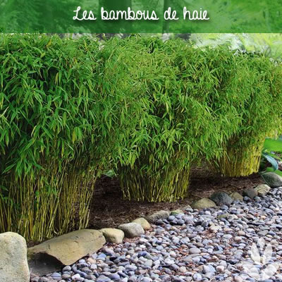 bambous de haie