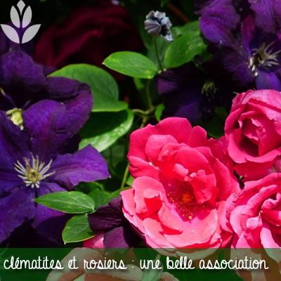 rosiers et clématites