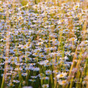 les plantes médicinales du jardin