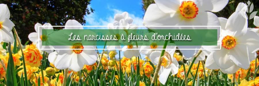 les narcisses à fleurs d'orchidées