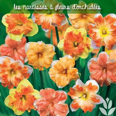 les narcisses à fleurs d'orchidées pour le jardin