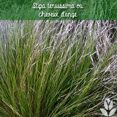 stipa tenuissima ou cheveux d'ange