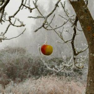 la taille hivernale des fruitiers