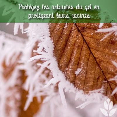 protéger les arbustes du gel
