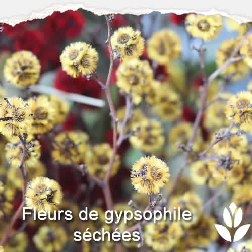 fleur gypsophile sechees