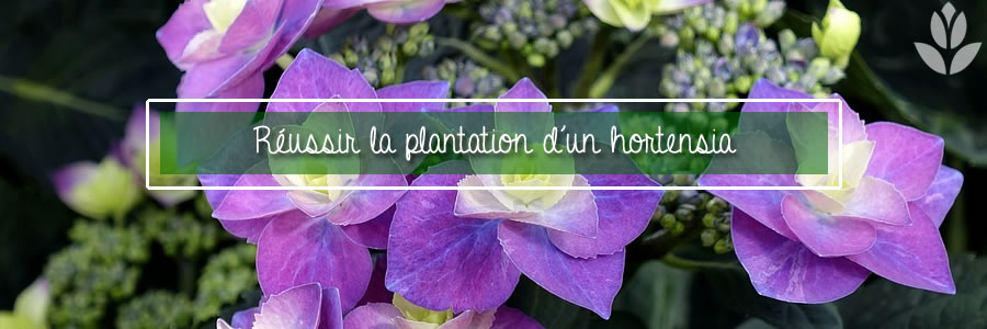 réussir la plantation d'un hortensia