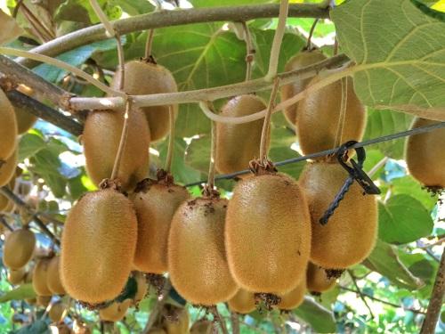 Kiwi les conseils pour votre jardin de willemse france for Conseil pour le jardin