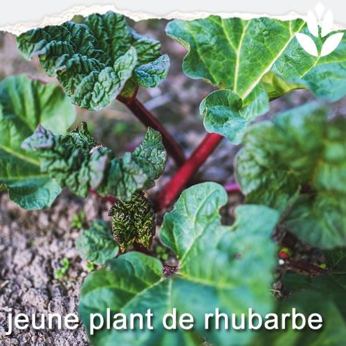 jeune plant de rhubabe