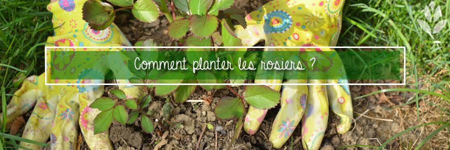 Comment planter les rosiers ?