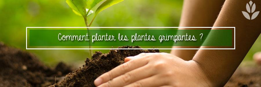 Comment planter des plantes grimpantes ?