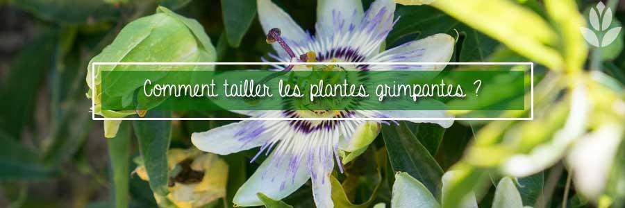Comment tailler les plantes grimpantes ?
