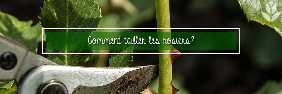 comment tailler les rosiers?