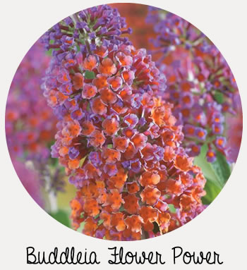 buddleia flower power