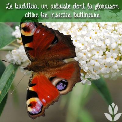 buddleia papillon