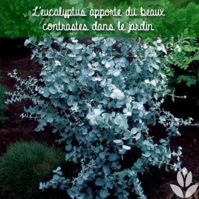 les contrastes du feuillage de l'eucalyptus