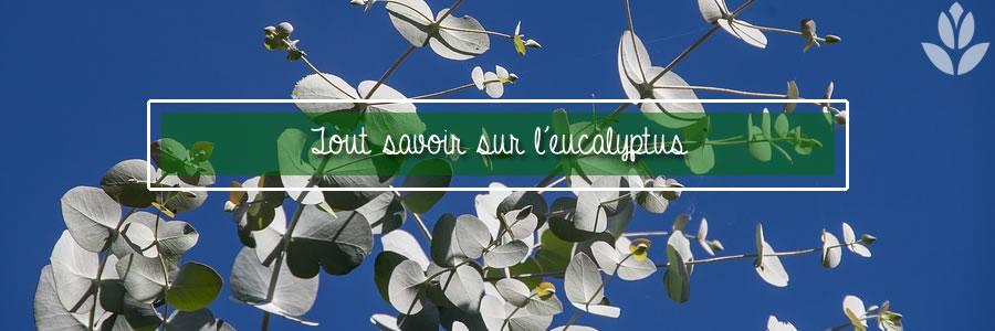 tout savoir sur l'eucalyptus du jardin