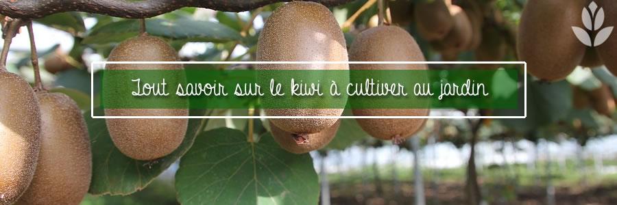 cultiver le kiwi dans son jardin