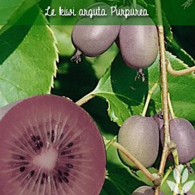kiwi purpurea