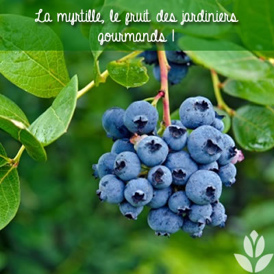 myrtille : fruit gourmand du jardin