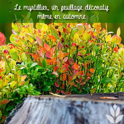 feuillage décoratif du myrtillier à l'automne
