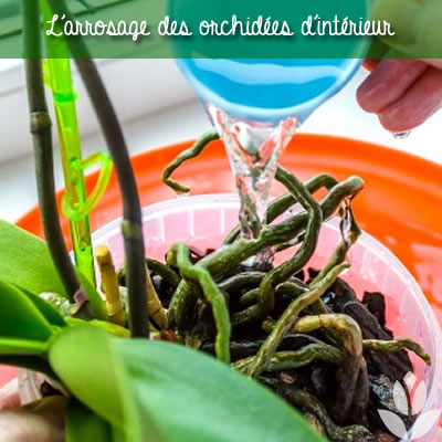 l'arrosage des orchidées d'intérieur