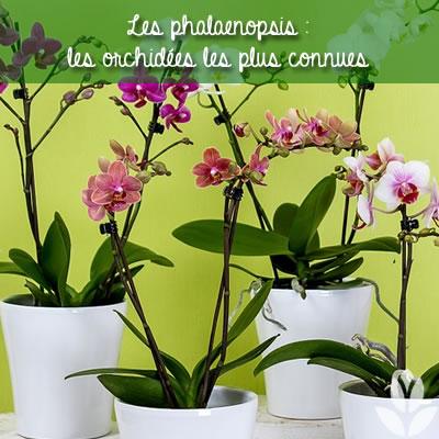 orchidees : phalaenopsis