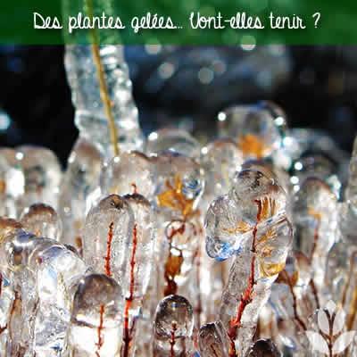 plante gelée