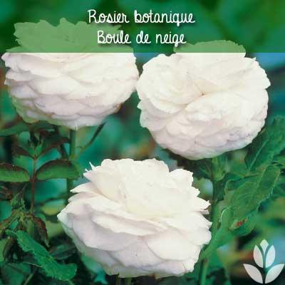 rosier botanique boule de neige
