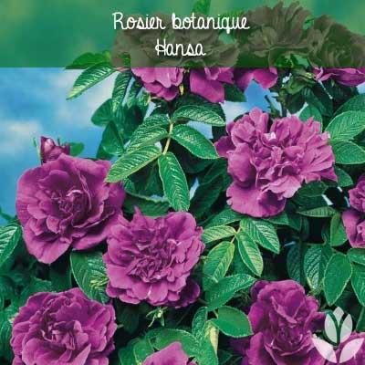 rosier botanique hansa