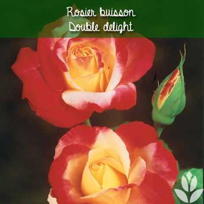 rosier buisson double delight
