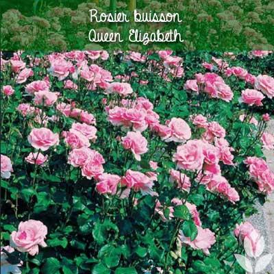 rosier buisson queen elizabeth