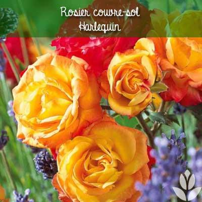 rosier couvre-sol harlequin