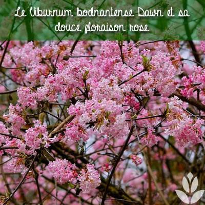 viorne rose ou viburnum bodnatense dawn
