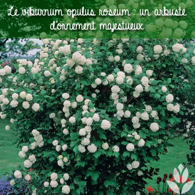 viorne viburnum opulus roseum