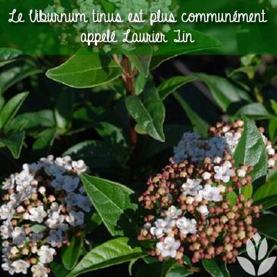 viorne viburnum tinus ou laurier tin