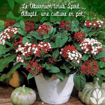 viorne viburnum tinus spirit