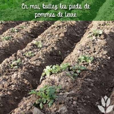 pieds pommes de terre