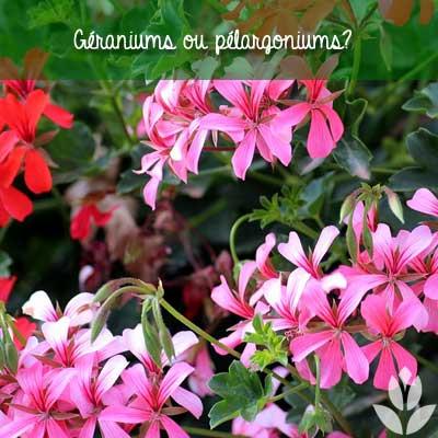 geranium ou pelargonium