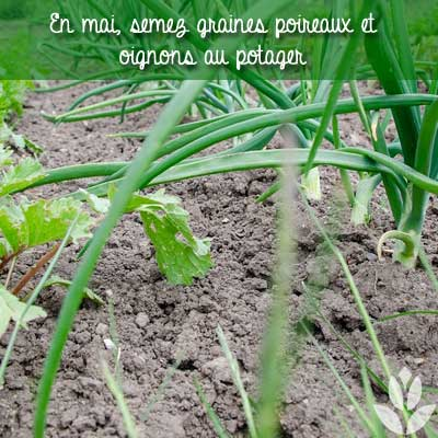 oignons poireaux semis potager mai