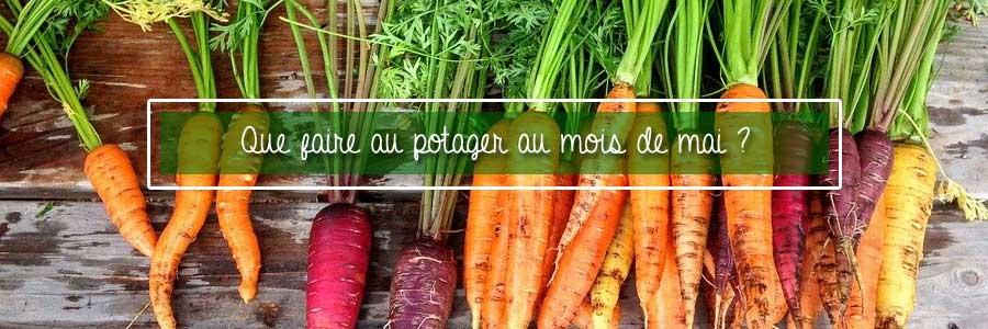 potager carottes mai
