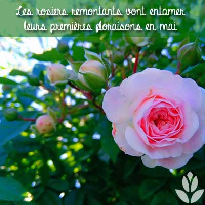 rosiers remontants mai