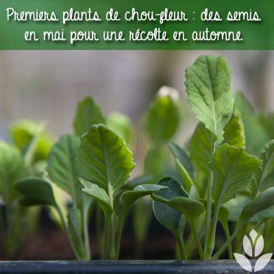semis chou-fleur