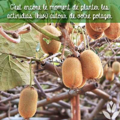 plants de kiwi actinidia