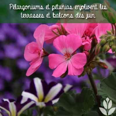 geranium petunias