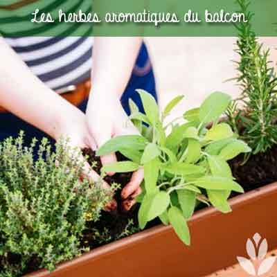 herbes aromatiques du balcon