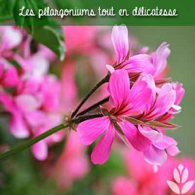 pelargoniums floraisons