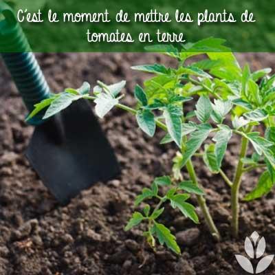 plant de tomates en terre