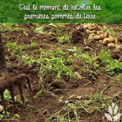 récolte pommes de terre en juin