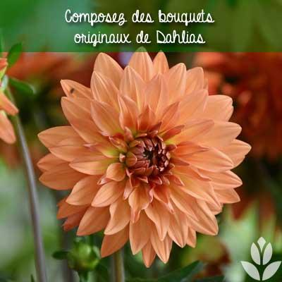 Composez des bouquets originaux de Dahlias