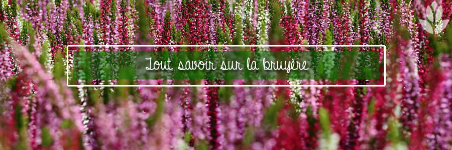 tout savoir sur les bruyères de jardin